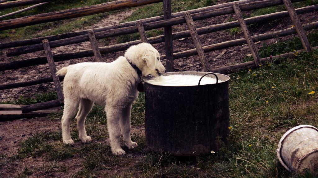 hund milch
